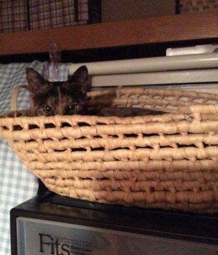 かごの中のサビ猫