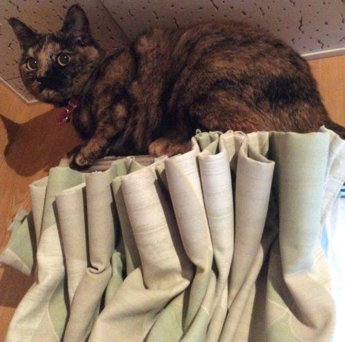カーテンに登るサビ猫