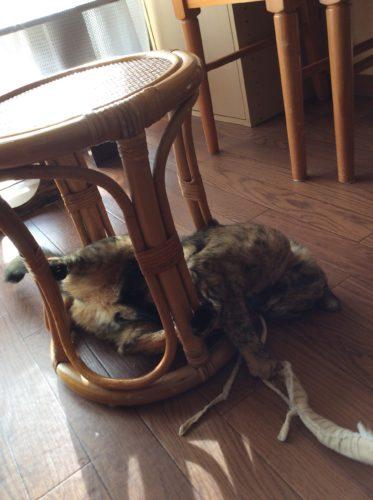 ひもで遊ぶサビ猫
