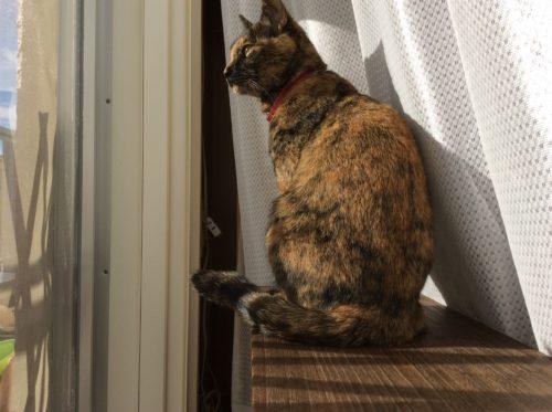 外を眺めるサビ猫