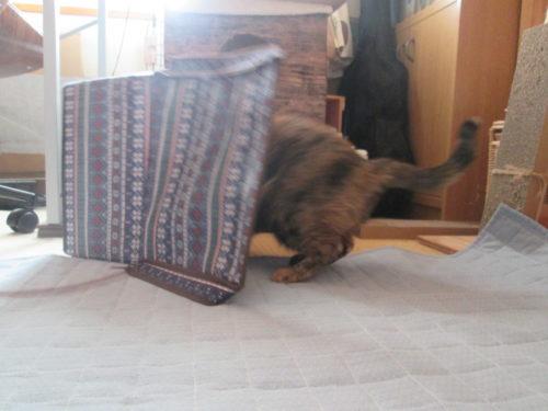 箱に入るサビ猫
