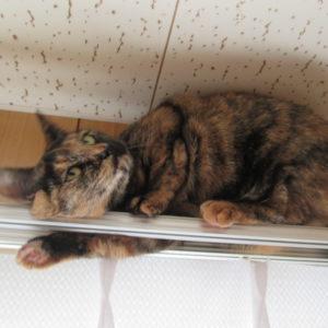 カーテンレールに乗るサビ猫