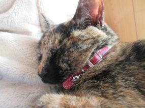 膝で寝るサビ猫